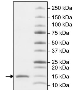 SDS-PAGE - Recombinant Human CDY1 protein (ab198453)