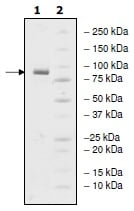 SDS-PAGE - Recombinant human PDE4D protein (ab198456)