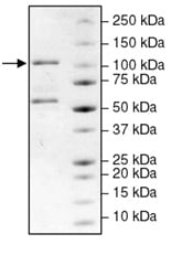 SDS-PAGE - Recombinant dog PDE4B protein (ab198483)