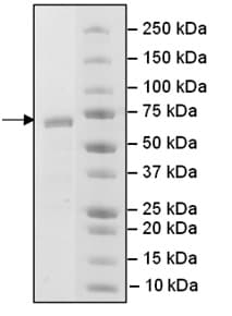 SDS-PAGE - Recombinant Human PCGF6 protein (ab198485)