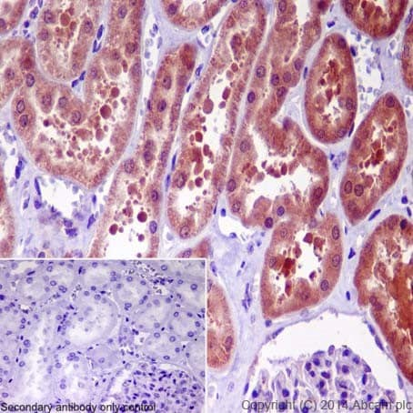 Immunohistochemistry (Formalin/PFA-fixed paraffin-embedded sections) - Anti-GGCT antibody [EPR17107] (ab198503)
