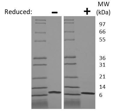 SDS-PAGE - Recombinant human IL-8 protein (ab198561)