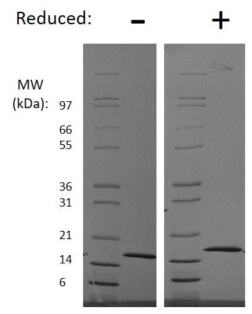 SDS-PAGE - Recombinant human Interferon gamma protein (ab198566)