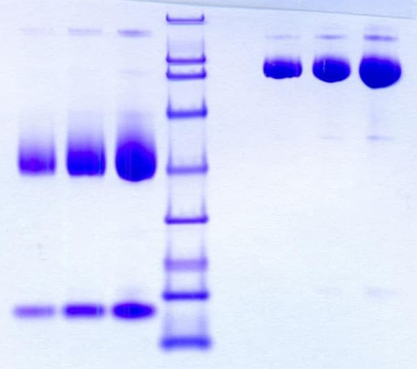 SDS-PAGE - Native Rat Hemopexin protein (ab198629)