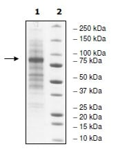 SDS-PAGE - Recombinant human MLH3 protein (ab198631)
