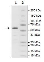 SDS-PAGE - Recombinant human Tankyrase protein (ab198639)