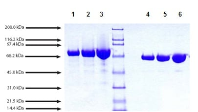SDS-PAGE - Native Cynomolgus monkey Transferrin protein (ab198644)