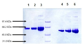 SDS-PAGE - Native Guinea pig Albumin protein (ab198665)
