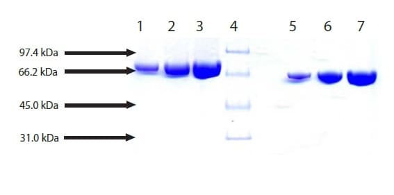 SDS-PAGE - Native Mouse Apotransferrin protein (ab198672)