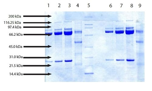 SDS-PAGE - Native pig Calpain 1 protein (ab198675)