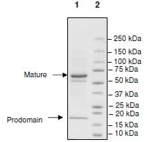 SDS-PAGE - Recombinant human PCSK9 protein (Biotin) (ab198753)