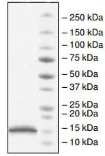 SDS-PAGE - Recombinant Human CBX2 protein (ab198759)