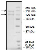 SDS-PAGE - Recombinant human LDL Receptor protein (ab198760)