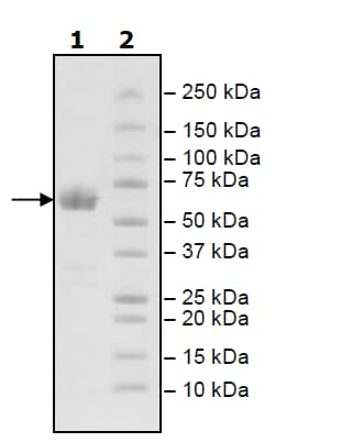SDS-PAGE - Recombinant Human PD1 protein (Fc Chimera) (Biotin) (ab198769)