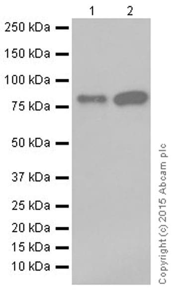 Western blot - Anti-CGBP antibody [EPR19199] - ChIP Grade (ab198977)