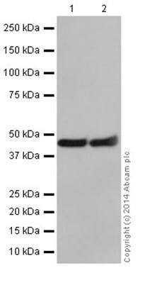 Western blot - Anti-Annexin-7/ANXA7 antibody [EPR16173] - N-terminal (ab198990)