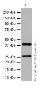 Western blot - Anti-DNAJB6 antibody [EPR17122] - N-terminal (ab198995)