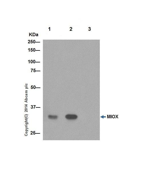 Immunoprecipitation - Anti-MIOX antibody [EPR17173] (ab198997)