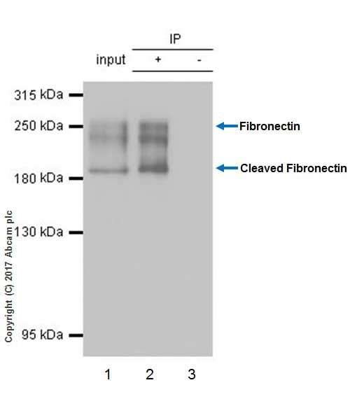 Immunoprecipitation - Anti-Fibronectin antibody [EPR19241-46] (ab199056)