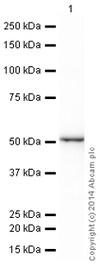 Western blot - HRP Anti-Cytokeratin 13 antibody [EPR3671] (ab199092)