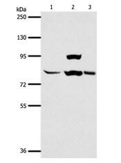 Western blot - Anti-AGAP1 antibody (ab199136)