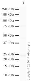 Western blot - HRP Anti-Rab4 antibody [EPR3042] - Early Endosome Marker (ab199205)