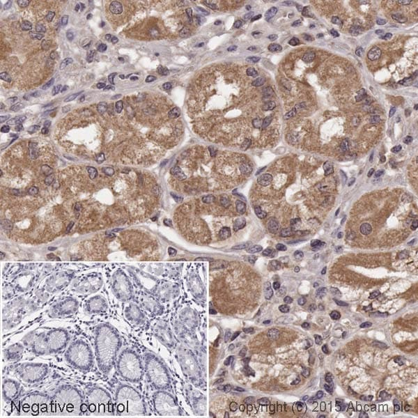 Immunohistochemistry (Formalin/PFA-fixed paraffin-embedded sections) - Anti-Rab4 antibody [EPR3042] - Early Endosome Marker (HRP) (ab199205)
