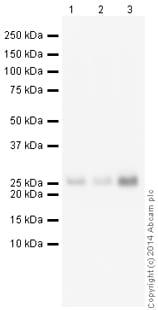 Western blot - Anti-Myelin oligodendrocyte glycoprotein antibody [EP4281] (HRP) (ab199236)
