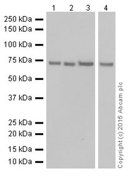 Western blot - Anti-ATP6V1A antibody [EPR19271] (ab199325)