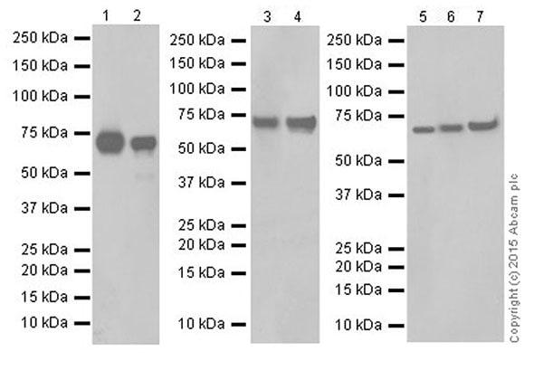 Western blot - Anti-ATP6V1A antibody [EPR19270] (ab199326)