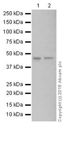 Western blot - Anti-Pellino 1 antibody [EPR19302] (ab199336)