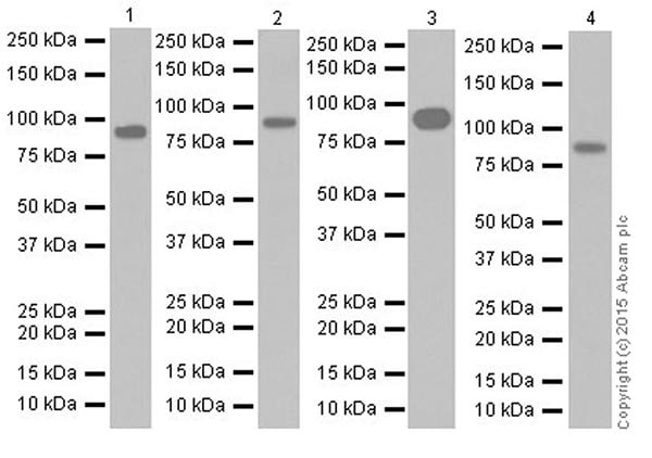 Western blot - Anti-PROX1 antibody [EPR19273] (ab199359)