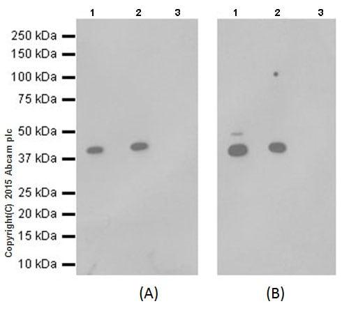 Immunoprecipitation - Anti-SMYD3 antibody [EPR19311] (ab199361)