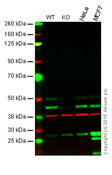 Western blot - Anti-JNK1 antibody [EPR17557] (ab199380)