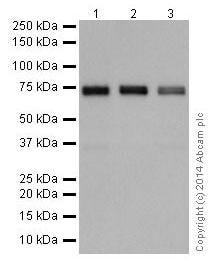 Western blot - Anti-SSX2IP antibody [EPR16979] (ab199425)