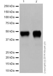 Western blot - Anti-C4 binding protein/C4BPB antibody [EPR17101] (ab199430)