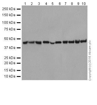 Western blot - Anti-PGK1 antibody [EPR19057] (ab199438)