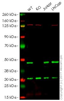 Western blot - Alexa Fluor® 647 Anti-NDRG1 antibody [EPR5593] (ab199471)