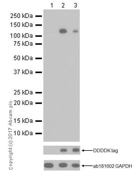 Western blot - Anti-SIK1 (phospho T182) + SIK2 (phospho T175) + SIK3 (phospho T163) antibody [EPR19196] (ab199474)