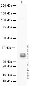 Western blot - Anti-4-1BBL antibody [EPR1172Y] (HRP) (ab199523)