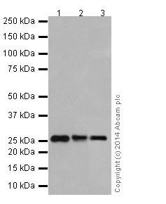 Western blot - Anti-PMF-1 antibody [EPR17298] (ab199531)