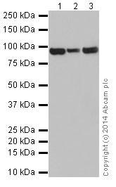 Western blot - Anti-DMGDH antibody [EPR16907] (ab199534)