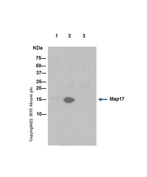 Immunoprecipitation - Anti-Map17 antibody [EPR16827] (ab199540)