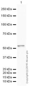 Western blot - HRP Anti-PTEN antibody [Y184] (ab199545)
