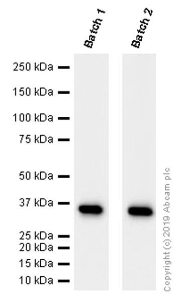 Western blot - Anti-GAPDH antibody [EPR16891] - BSA and Azide free (ab199553)