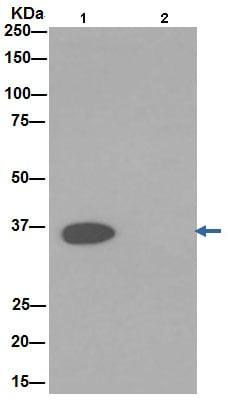 Immunoprecipitation - Anti-GAPDH antibody [EPR16891] - BSA and Azide free (ab199553)