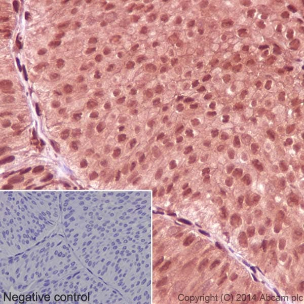 Immunohistochemistry (Formalin/PFA-fixed paraffin-embedded sections) - Anti-GAPDH antibody [EPR16891] - BSA and Azide free (ab199553)