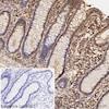 Immunohistochemistry (Formalin/PFA-fixed paraffin-embedded sections) - HRP Anti-Calmodulin 1/2/3 antibody [EP799Y] (ab199558)