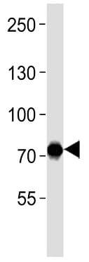 Western blot - Anti-NRF3 antibody (ab199607)