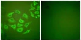 Immunocytochemistry/ Immunofluorescence - Anti-MMP10 antibody (ab199688)